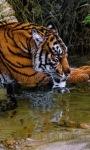 Thirsty Tiger Live Wallpaper screenshot 1/3