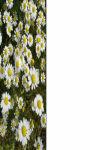 Daisy flower below Wallpaper HD screenshot 1/3