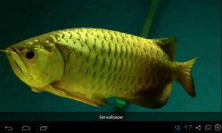 Gold Arowana Live Wallpaper screenshot 1/5