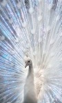 White Peacock LWP screenshot 3/3