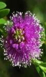 Purple Flower Blooming LWP screenshot 2/3