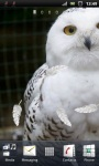 White Snowy Owl Live Wallpaper screenshot 2/3