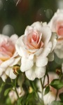 White Roses Lwp screenshot 2/3