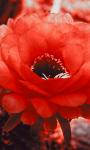 Red Cactus Blossom Live Wallpaper screenshot 1/3