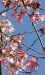 Cherry Flowers LWP screenshot 1/4