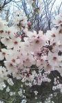 Cherry Flowers LWP screenshot 4/4