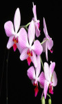 Orchid Flower Live Wallpaper Free screenshot 3/4