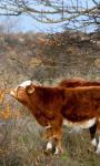 Cows and Orange Berries Live Wallpaper screenshot 1/4