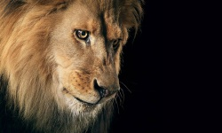 Amazing Lion HD Wallpaper screenshot 5/6