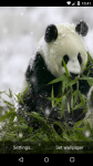 Beautiful Panda Live Wallpaper HD screenshot 1/6
