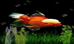 White Orange Fish Live Wallpaper screenshot 2/3