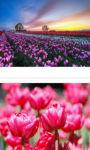 Bordeaux Tulips field Wallpaper HD screenshot 2/3