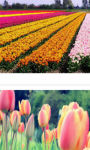 Bordeaux Tulips field Wallpaper HD screenshot 3/3