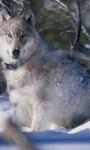 997 Wolf Wallpapers screenshot 5/6