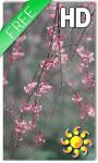 Cherry Blossom LWP screenshot 1/2