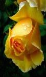 Yellow Rose In Rain Live Wallpaper screenshot 1/3