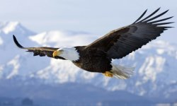 EAGLE ATRACTION IN THE AIR HD WALLPAPER screenshot 1/6