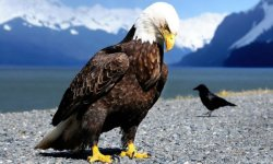 EAGLE ATRACTION IN THE AIR HD WALLPAPER screenshot 6/6