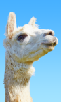 Super Llama Chase: Road Run screenshot 5/6