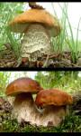 Mushrooms gallery screenshot 2/4
