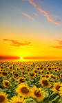 Sunflowers Field Live Wallpaper screenshot 1/3