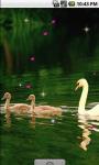 Ducks Family Live Wallpaper screenshot 1/4