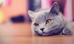 Free Cute Siberian Kittens Images  screenshot 5/6