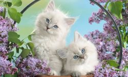 Free Cute Siberian Kittens Images  screenshot 6/6