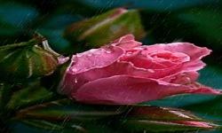 Pink Rose In Rain Live Wallpaper screenshot 2/3