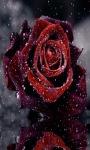 Rose In Snow LWP screenshot 1/3