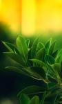 Ficus Green Leaves Live Wallpaper screenshot 1/3