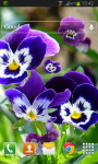 Pansy flowers Live Wallpaper screenshot 2/2