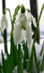 Snowdrops ripple touch screenshot 1/3