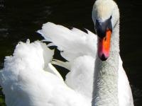 Beautiful Swan Wallpaper  screenshot 4/6