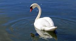 Beautiful Swan Wallpaper  screenshot 5/6