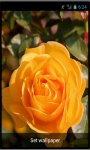 Rose1 live wallpaper screenshot 1/1