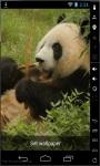 Panda Bear Live Wallpaper screenshot 1/2