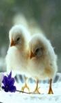 Baby Chickens Live Wallpaper screenshot 2/3