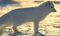 Arctic Fox Wallpapers HD COOL screenshot 1/4