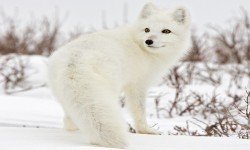 Arctic Fox Wallpapers HD COOL screenshot 2/4
