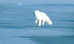 Arctic Fox Wallpapers HD COOL screenshot 3/4