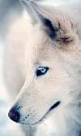 White Wolf Live Wallpaper screenshot 1/3
