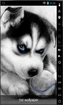 Cute Husky Puppy Live Wallpaper screenshot 1/2