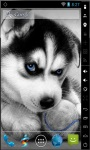 Cute Husky Puppy Live Wallpaper screenshot 2/2