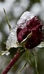 Frozen Rose Lwp screenshot 2/3