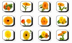 Calendula Flowers Onet Classic Game screenshot 2/3