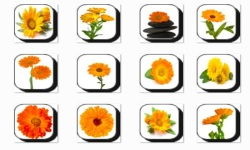 Calendula Flowers Onet Classic Game screenshot 3/3