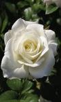 White Rose Blooming LWP screenshot 2/3