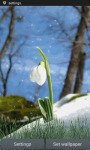 Snow Drop Flower LWP screenshot 1/3