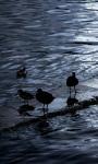 Birds on Lake Titicaca Live Wallpaper screenshot 1/4
